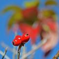 写真: はなみずきの赤い実