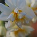 八重咲水仙1