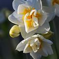 八重咲水仙2