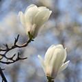 写真: 木蓮連咲