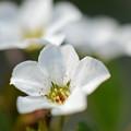 愛らしい五弁の小花