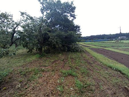 今更ですが 今年の栗は収穫減 の巻