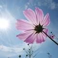 Photos: 大輪の花