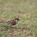 写真: 雀