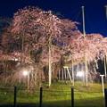 般若院 夜桜