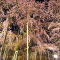 写真: 般若院 夜桜繚乱