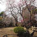 Photos: しだれ梅