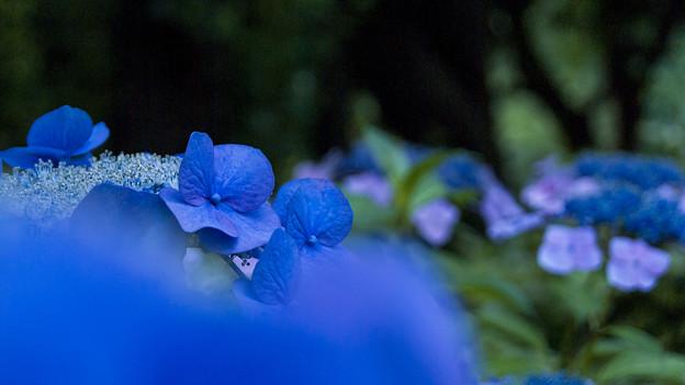 紫陽花 咲き乱れる