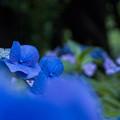 Photos: 紫陽花 咲き乱れる