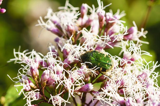 フジバカマに集まる虫たち -ハナコガネ-
