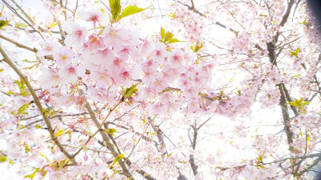 超広角で河津桜