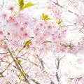 写真: 超広角で河津桜