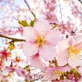写真: 河津桜 魚眼