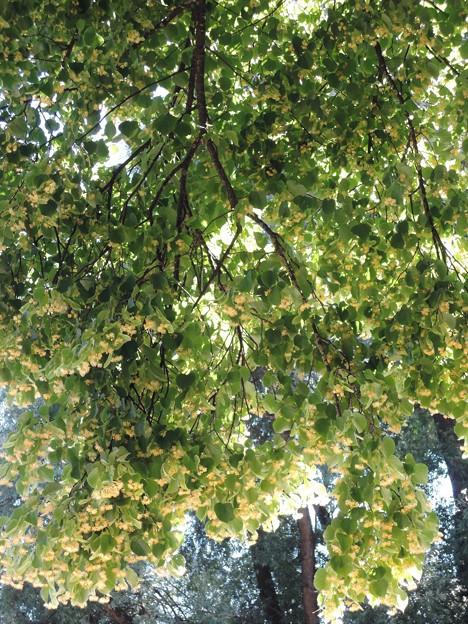 リンデンバウムの花
