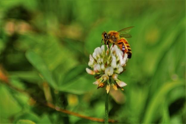 ツメクサと蜂