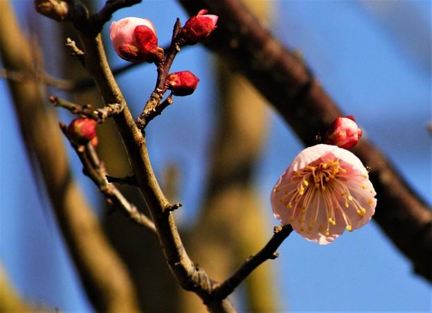庭の梅が咲き始めもした