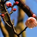 写真: 庭の梅が咲き始めもした