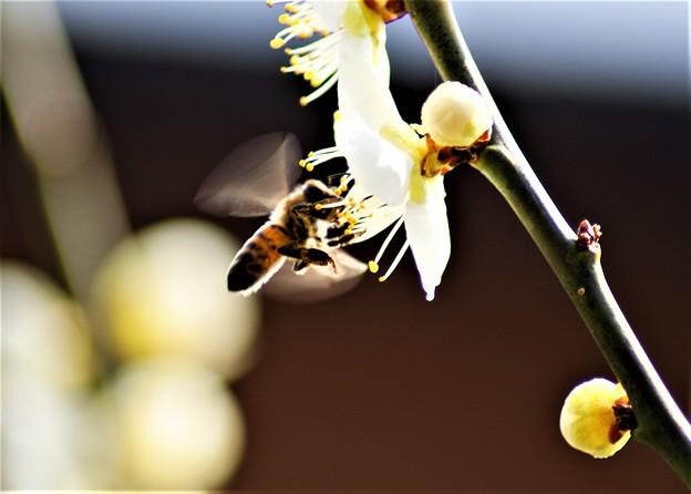 白梅と蜂-2