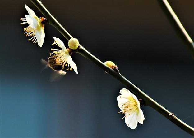 白梅と蜂-1