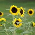 Photos: sun flower
