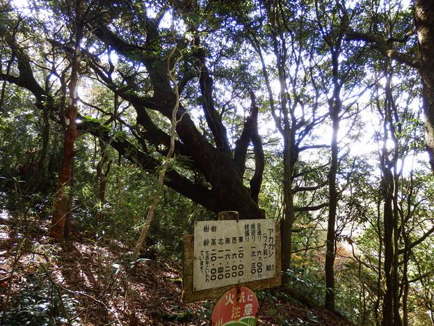 樹齢700年のアカガシ