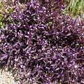 えっと・・紫の植物・・・