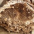 アシナガバチの巣かな?