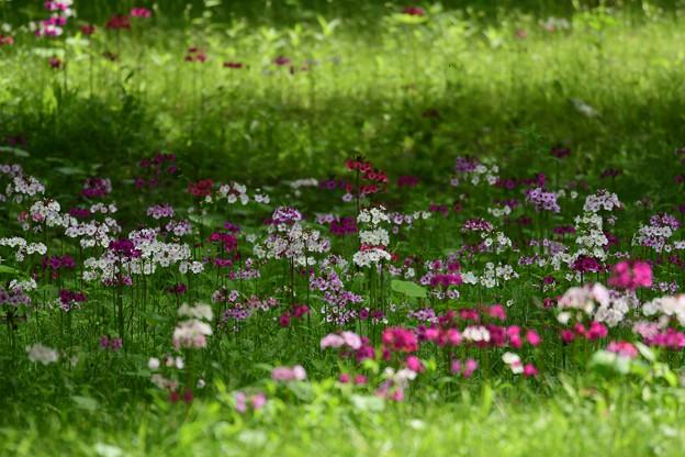 九輪草の咲く処で