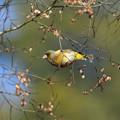黄色い野鳥
