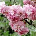 八重桜 B