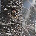 オオアカゲラの巣作り2