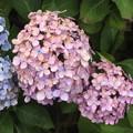 Photos: さくらの山公園の紫陽花 IMG_116777