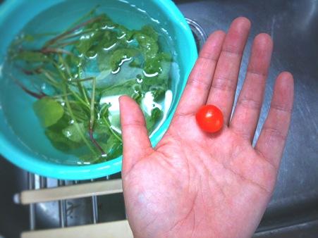 またプチトマト1粒収穫。ラディッシュの葉っぱはアブラムシと、マミーだらけ!