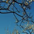 写真: 白梅と飛行機雲