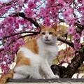 写真: 我が家の花桃