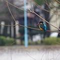 Photos: カワセミちゃん枝に、、
