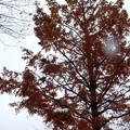 写真: メタセコイアの枝葉が雪でたくさん落ちましたね。