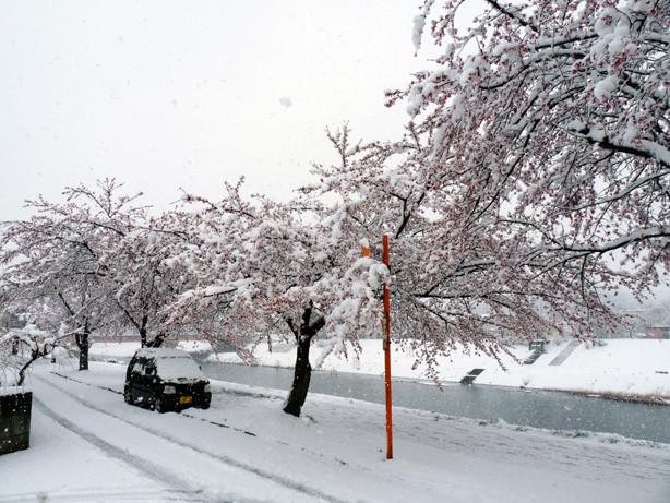 釈迦堂川の桜in2010