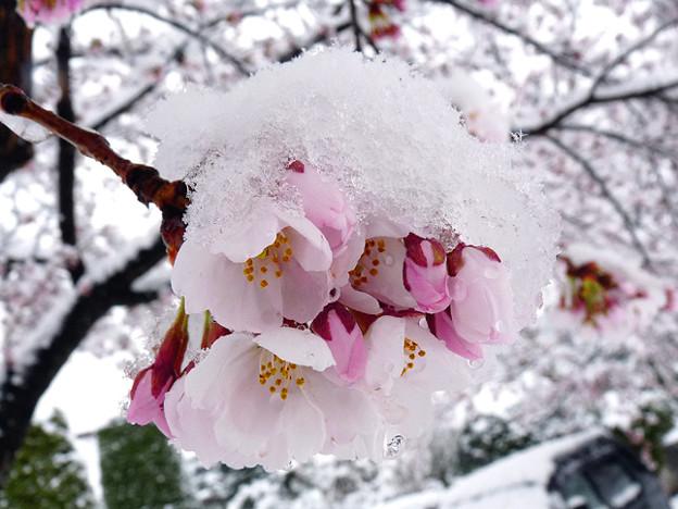 かなり珍しい、雪桜。