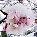 写真: かなり珍しい、雪桜。