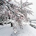 写真: 雪でしなりまくりー