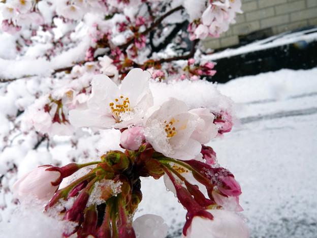 2010の異常気象に桜も氷ってしまった