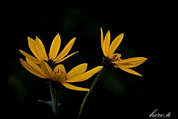 秋の花 キクイモ