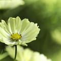 写真: 黄桜