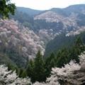 圧巻の千本桜
