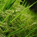 稲作は日本の伝統