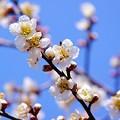 早咲きの梅花