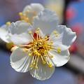 早咲きのつぼみ