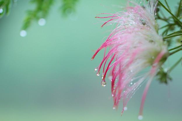 雨の日の合歓