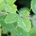 Photos: 萩の新葉の上の まあるい雫たち ♪